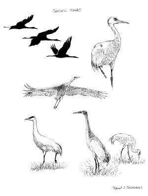 Sandhill Crane svg #8, Download drawings