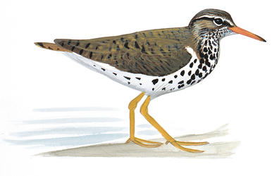 Spotted Sandpiper clipart #20, Download drawings