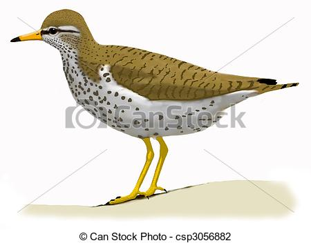 Spotted Sandpiper clipart #12, Download drawings