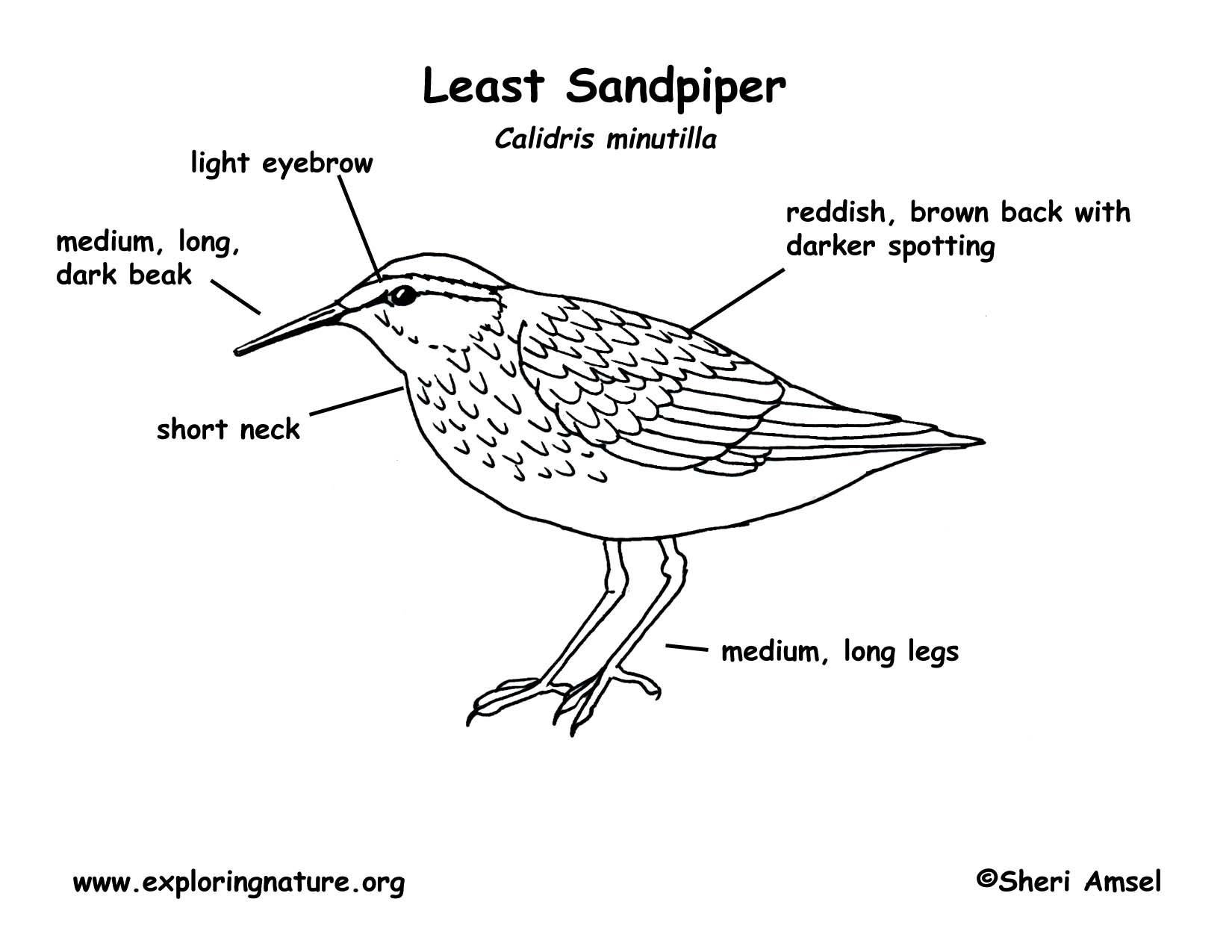sandpiper coloring  download sandpiper coloring