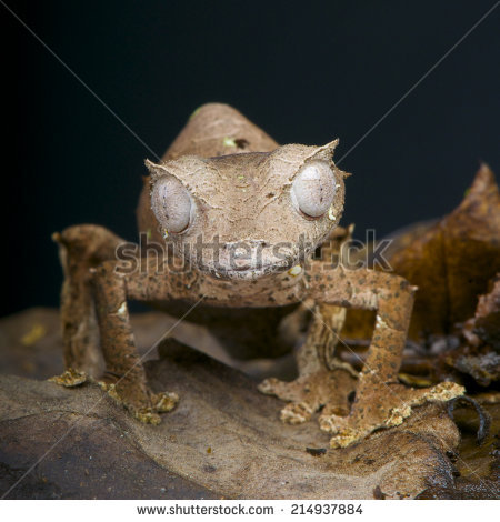 Satanic Leaf-tailed Gecko clipart #8, Download drawings