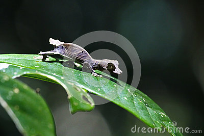 Satanic Leaf-tailed Gecko clipart #10, Download drawings