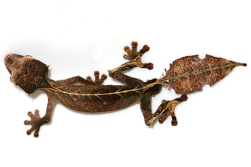 Satanic Leaf-tailed Gecko clipart #18, Download drawings