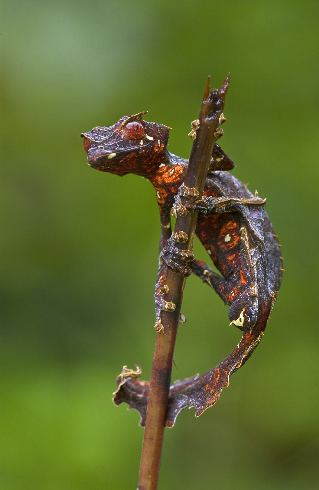 Satanic Leaf-tailed Gecko clipart #14, Download drawings