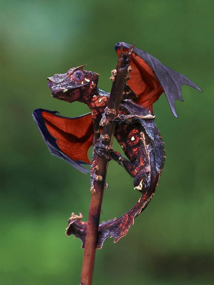 Satanic Leaf-tailed Gecko clipart #15, Download drawings