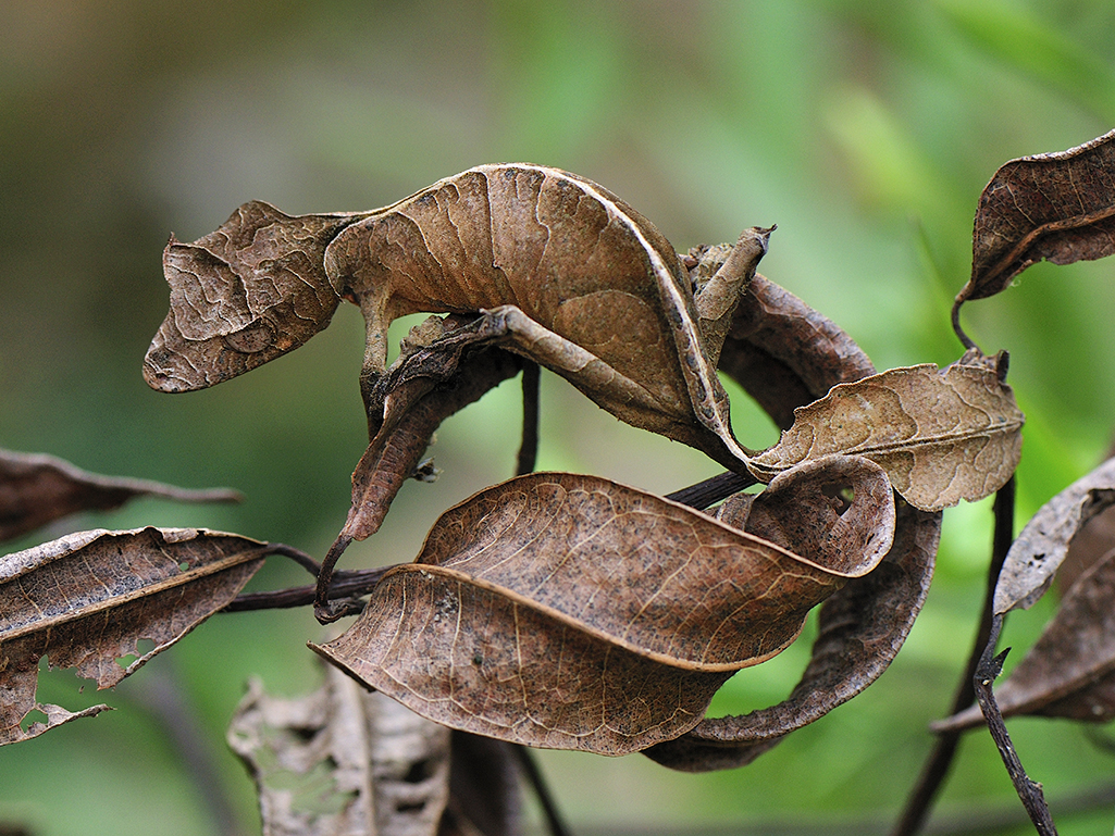Satanic Leaf-tailed Gecko clipart #13, Download drawings