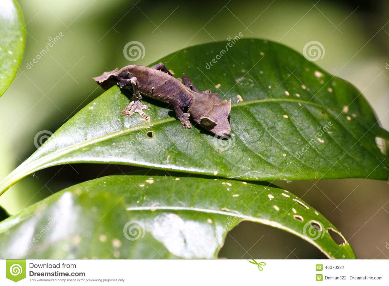 Satanic Leaf-tailed Gecko clipart #5, Download drawings