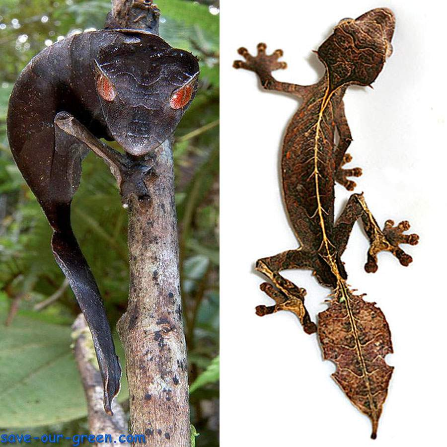 Satanic Leaf-tailed Gecko coloring #15, Download drawings