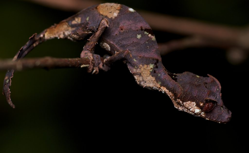 Satanic Leaf-tailed Gecko coloring #3, Download drawings