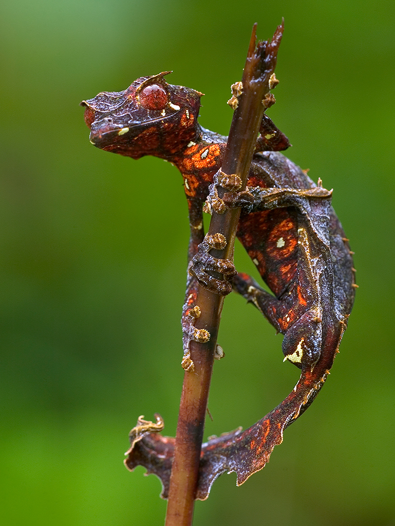 Satanic Leaf-tailed Gecko coloring #17, Download drawings