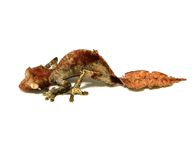 Satanic Leaf-tailed Gecko svg #2, Download drawings