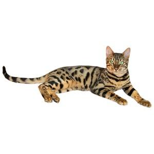 Savannah Cat clipart #7, Download drawings