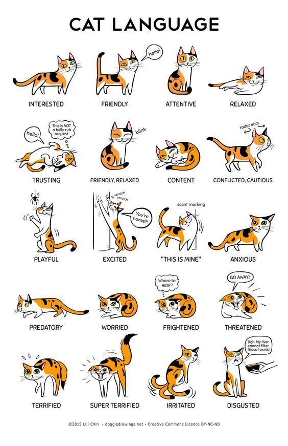Savannah Cat clipart #19, Download drawings