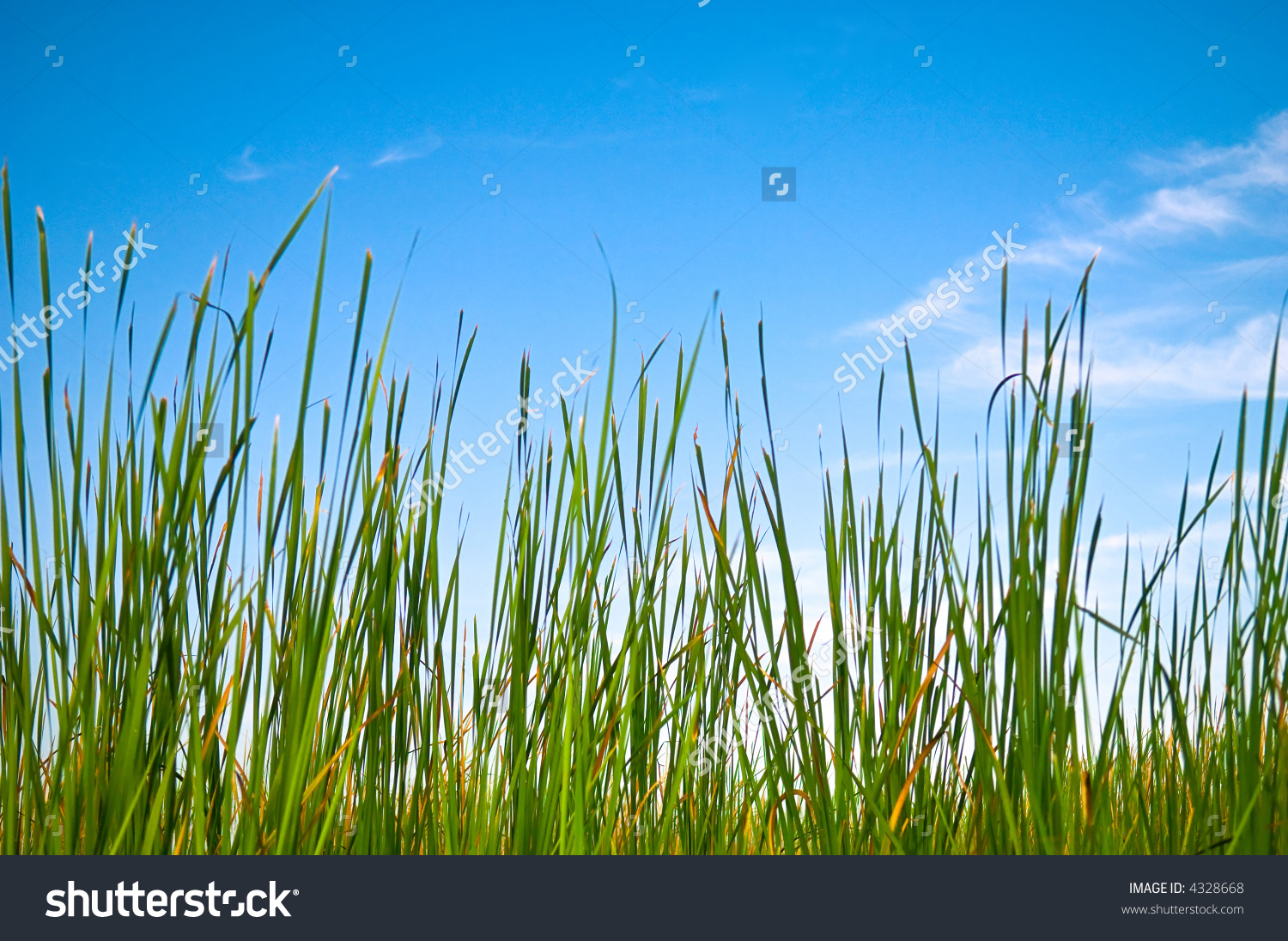 Saw Grass clipart #3, Download drawings