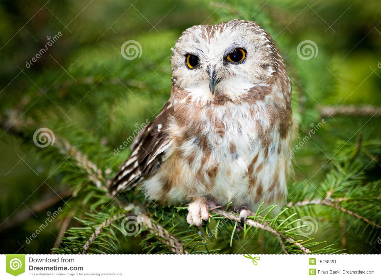 Saw Whet Owl clipart #8, Download drawings