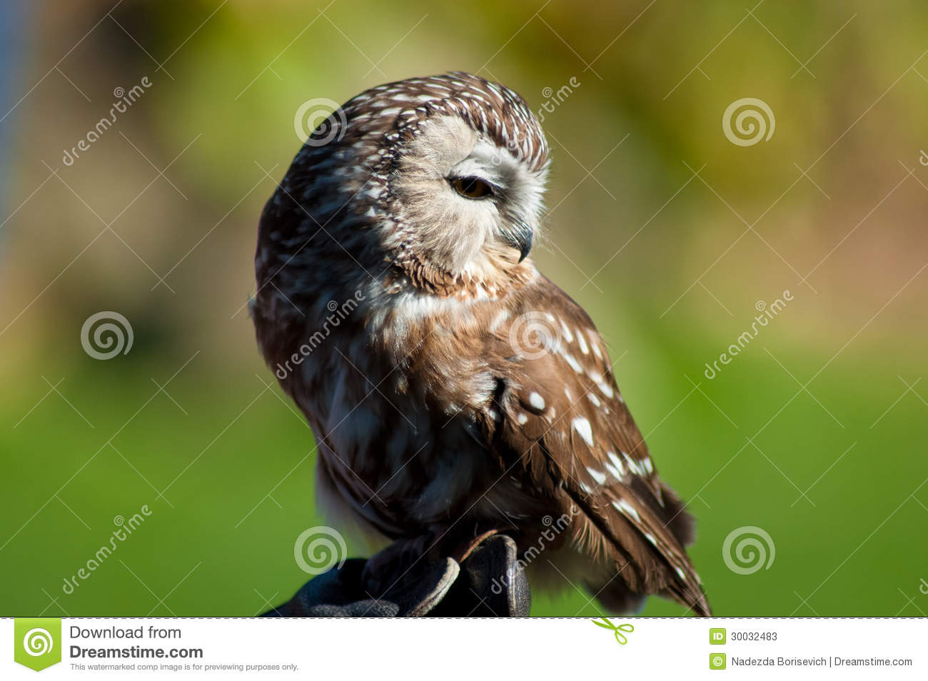 Saw Whet Owl clipart #14, Download drawings