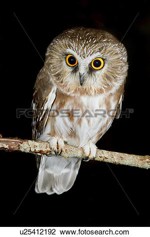 Saw Whet Owl clipart #12, Download drawings