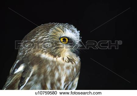 Saw Whet Owl clipart #13, Download drawings
