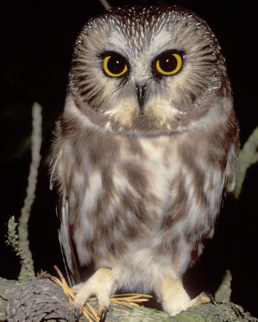 Saw Whet Owl clipart #5, Download drawings