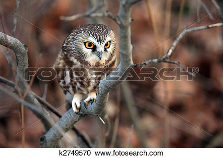 Saw Whet Owl clipart #17, Download drawings
