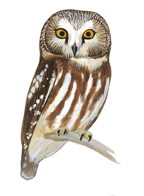 Saw Whet Owl clipart #4, Download drawings