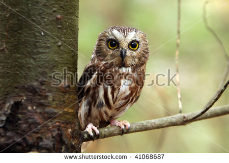 Saw Whet Owl clipart #3, Download drawings