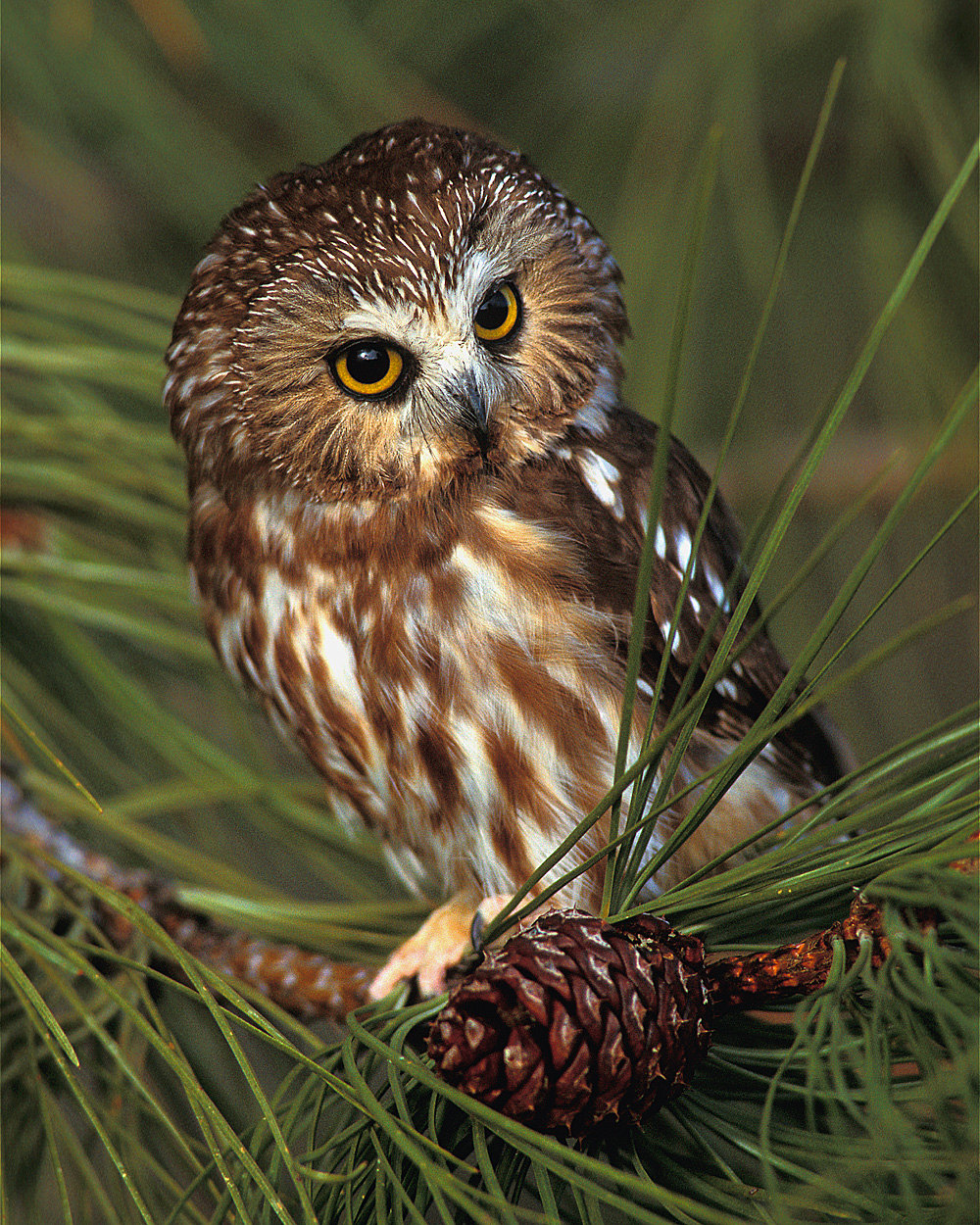 Saw Whet Owl clipart #16, Download drawings
