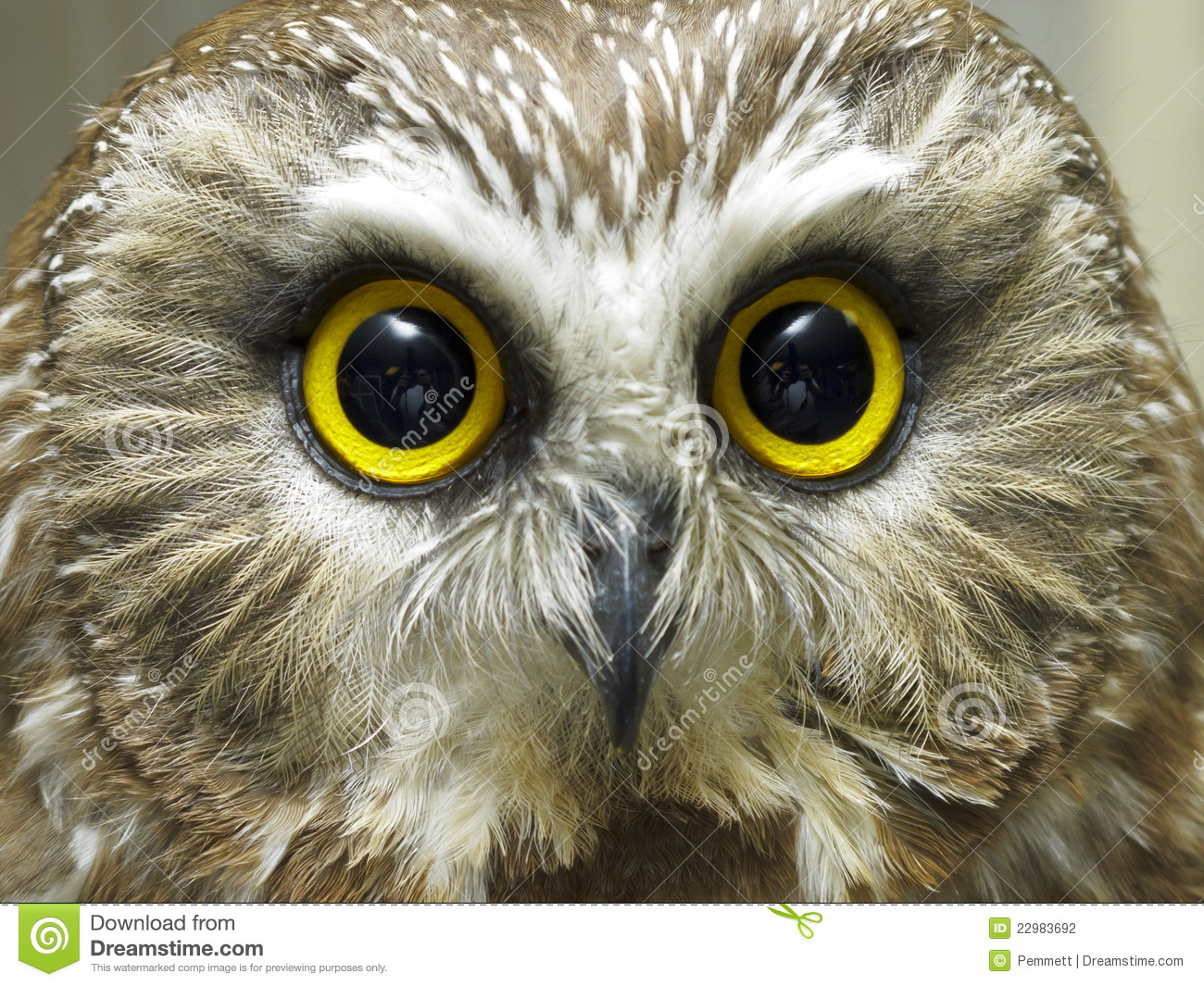 Saw Whet Owl clipart #6, Download drawings