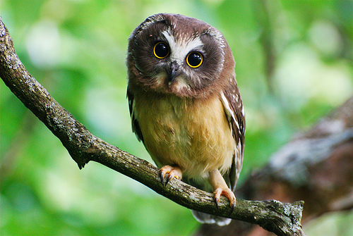 Saw Whet Owl coloring #2, Download drawings