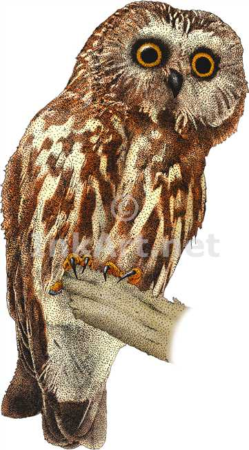 Saw Whet Owl coloring #17, Download drawings