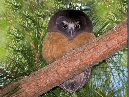 Saw Whet Owl coloring #9, Download drawings