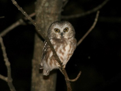 Saw Whet Owl coloring #8, Download drawings