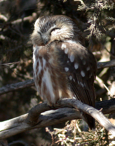 Saw Whet Owl coloring #14, Download drawings