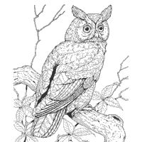 Saw Whet Owl coloring #16, Download drawings