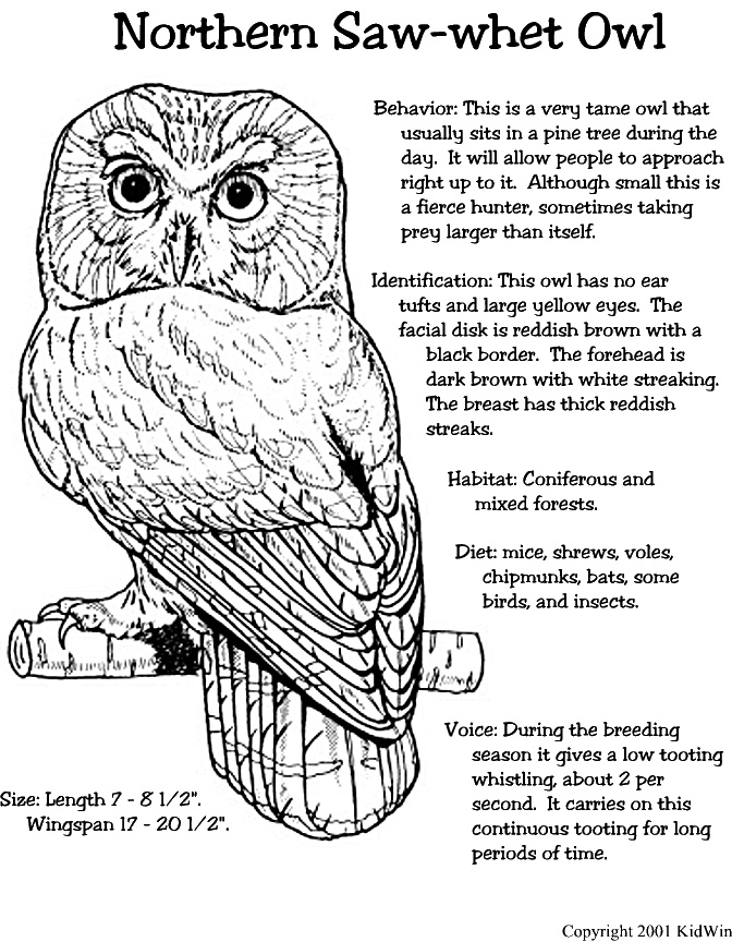 Saw Whet Owl coloring #18, Download drawings