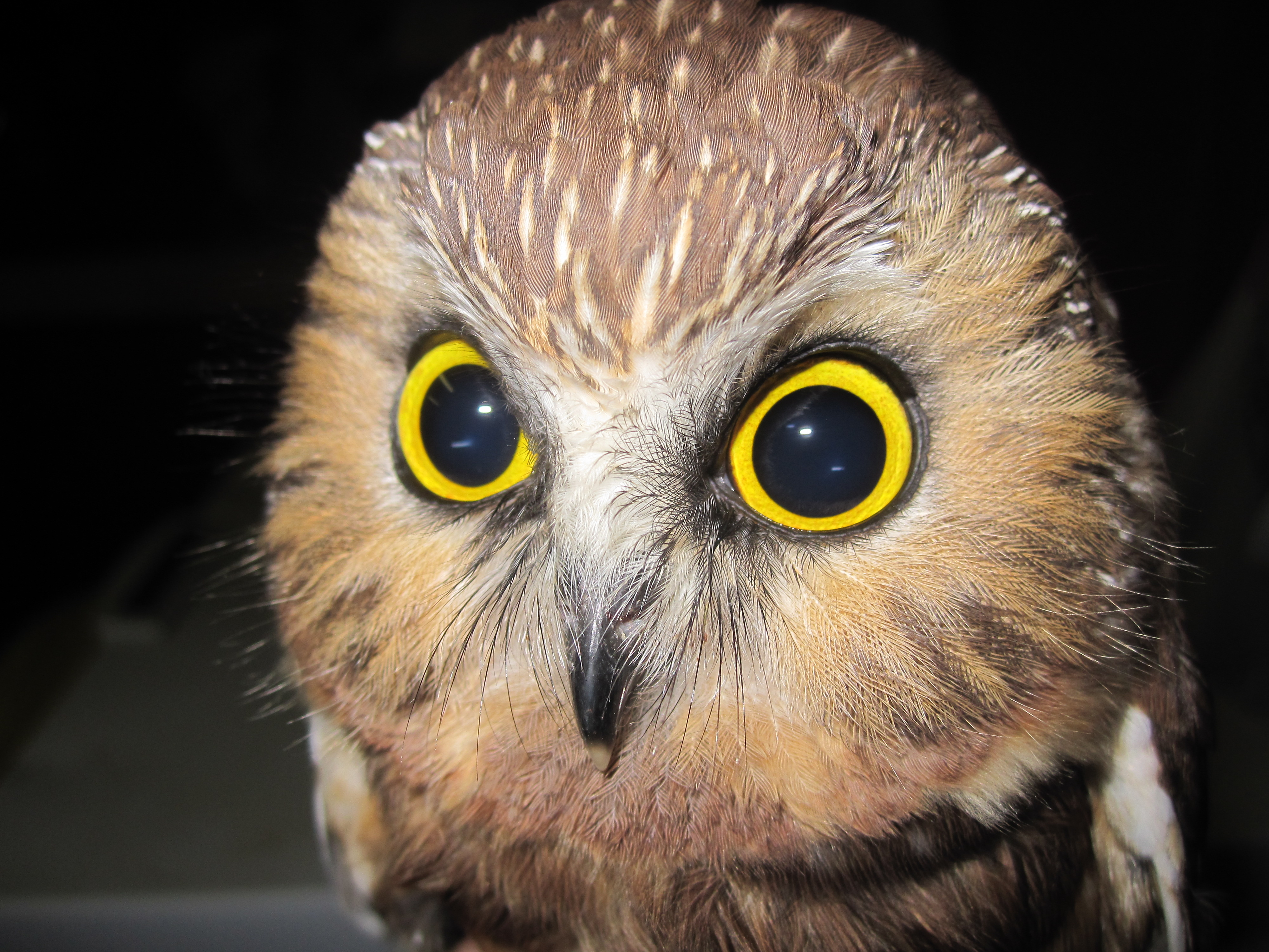 Saw Whet Owl coloring #12, Download drawings