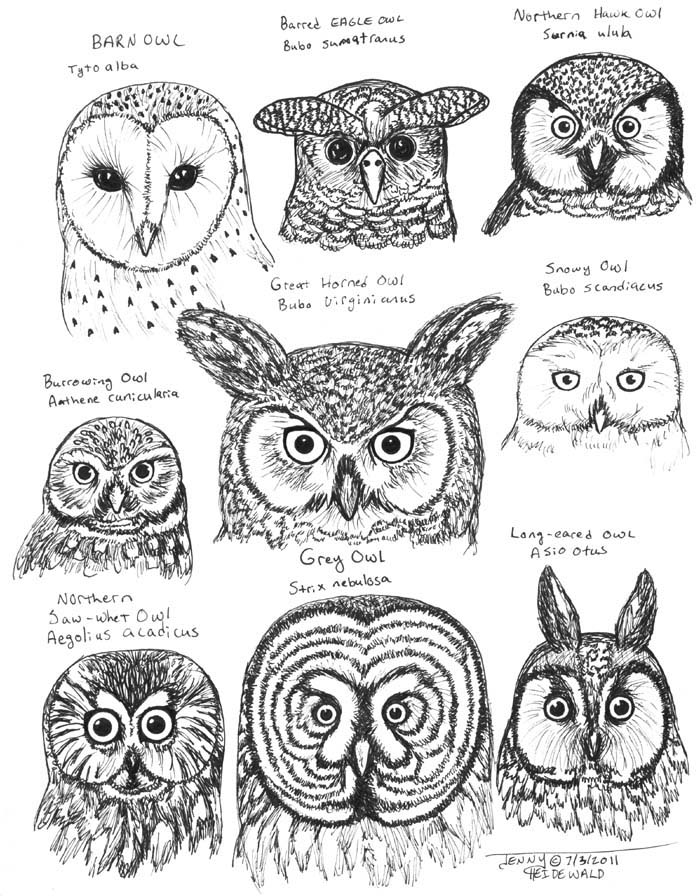 Short-eared Owl coloring #7, Download drawings
