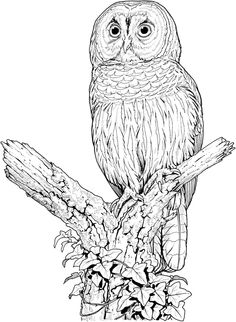 Saw Whet Owl coloring #19, Download drawings