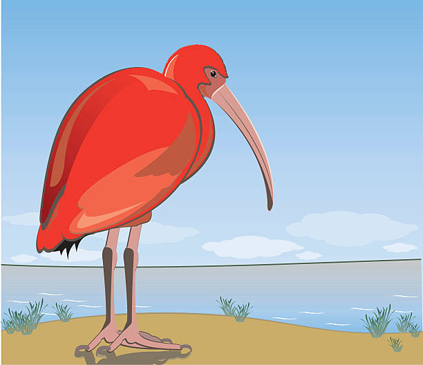 Scarlet Ibis clipart #13, Download drawings