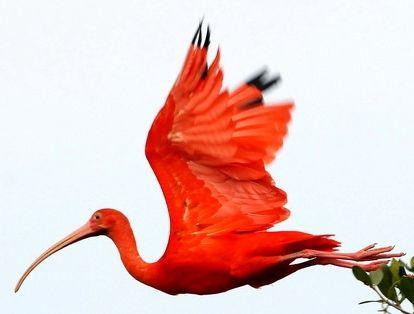 Scarlet Ibis clipart #5, Download drawings