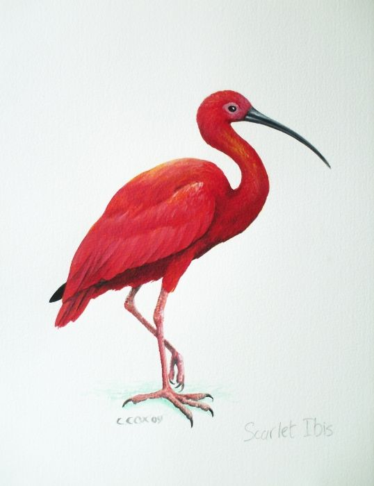 Scarlet Ibis clipart #19, Download drawings