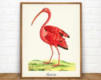 Scarlet Ibis clipart #14, Download drawings