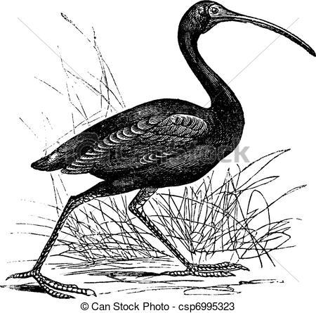 Scarlet Ibis clipart #6, Download drawings