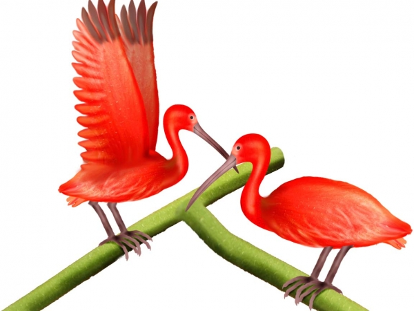 Scarlet Ibis clipart #12, Download drawings