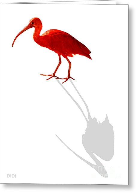 Scarlet Ibis clipart #20, Download drawings