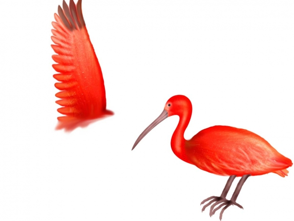Scarlet Ibis clipart #5, Download drawings
