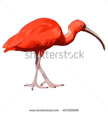 Scarlet Ibis clipart #7, Download drawings