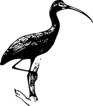 Scarlet Ibis clipart #8, Download drawings