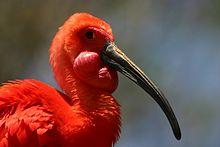 Scarlet Ibis coloring #1, Download drawings