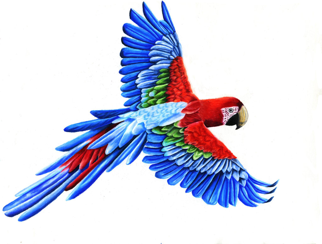 Scarlet Macaw clipart #5, Download drawings